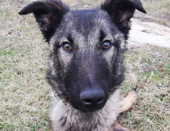 MIO ,Belgischer Schäferhund  Zuhause gesucht !! Dringend !!