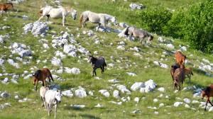 wildpferd-pferde-bosnien-112~_v-img__16__9__xl_-d31c35f8186ebeb80b0cd843a7c267a0e0c81647